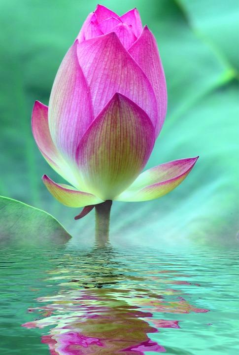 lotus-2573625_960_720.jpg